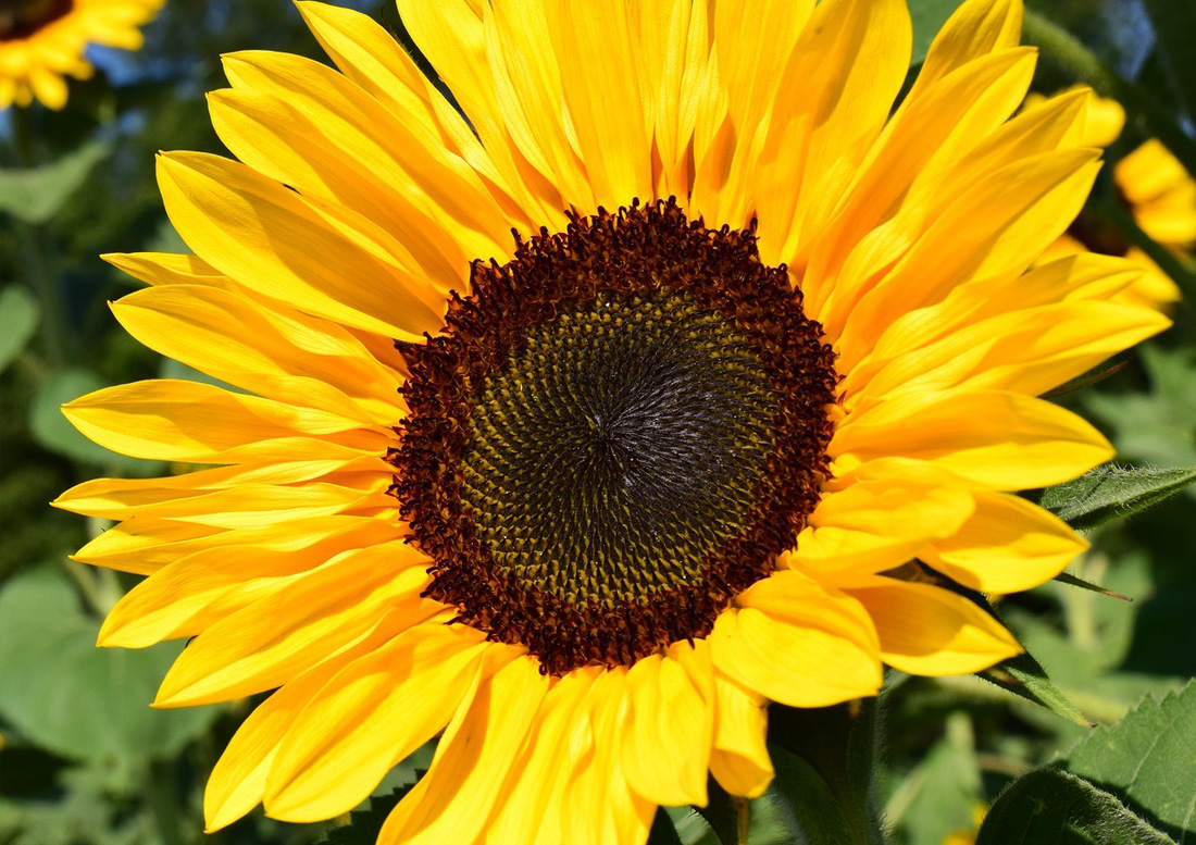 Emulsifiers - Sunflower